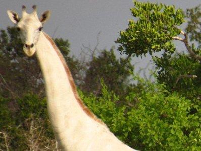 У світі лишився один: в Африці вбили двох рідкісних білих жирафів -  - default