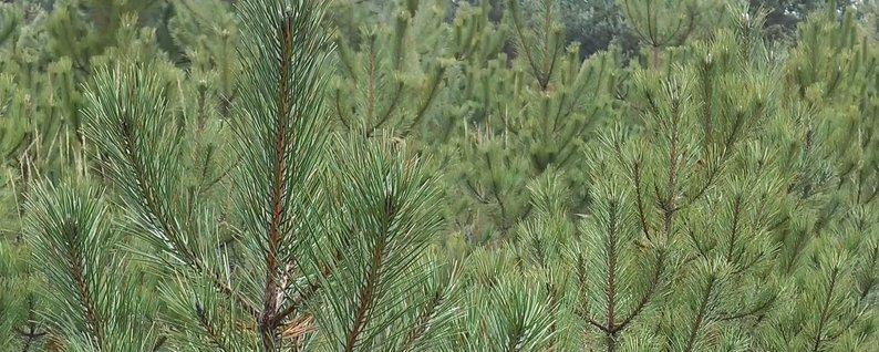 """""""Неділя лісу"""": у Боярці висадять дерева через 95 років - ліс, Боярка - lisB"""
