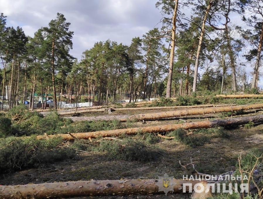 Незаконна вирубка лісу в Ірпені: втрутилась поліція - Поліція, кримінал, київщина, ірпінь - sosny1
