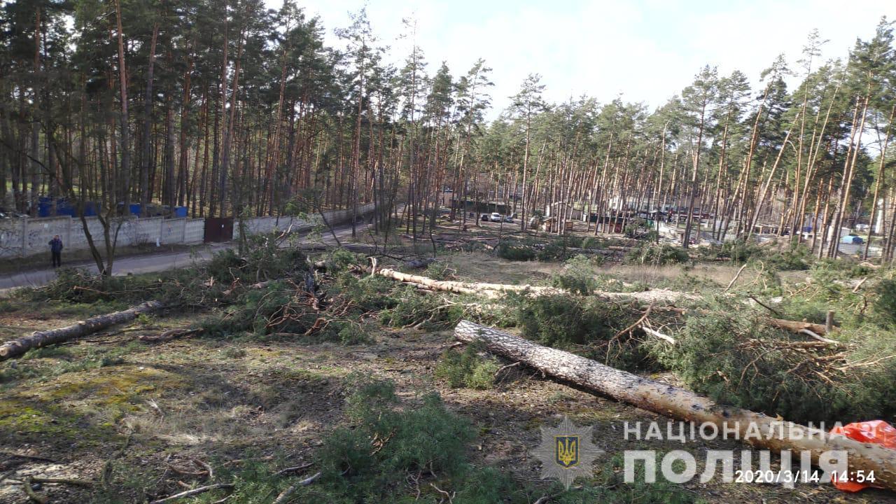 Незаконна вирубка лісу в Ірпені: втрутилась поліція - Поліція, кримінал, київщина, ірпінь - sosny3
