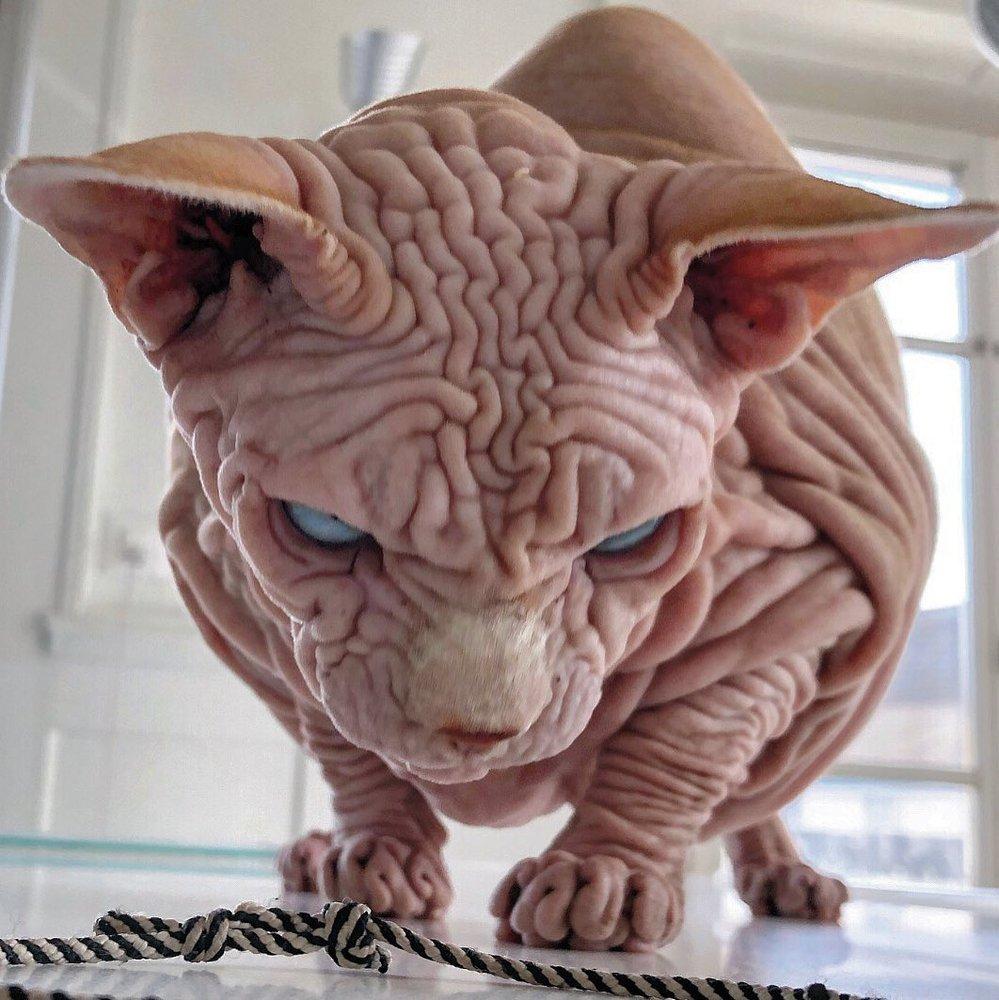 Знайдено найбільш «зморщеного» кота на планеті - Тварини - 01 kot