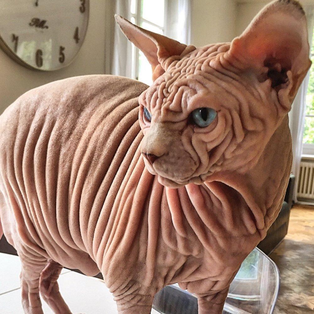 Знайдено найбільш «зморщеного» кота на планеті - Тварини - 01 kot2