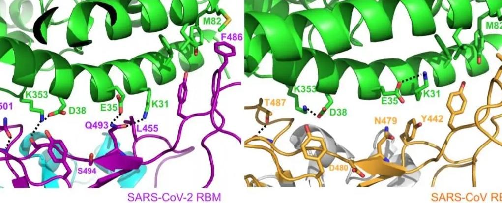 Нове дослідження білка коронавірусу пояснює його швидке поширення на планеті - Наука, коронавірус, Вірус - 01 kovyd