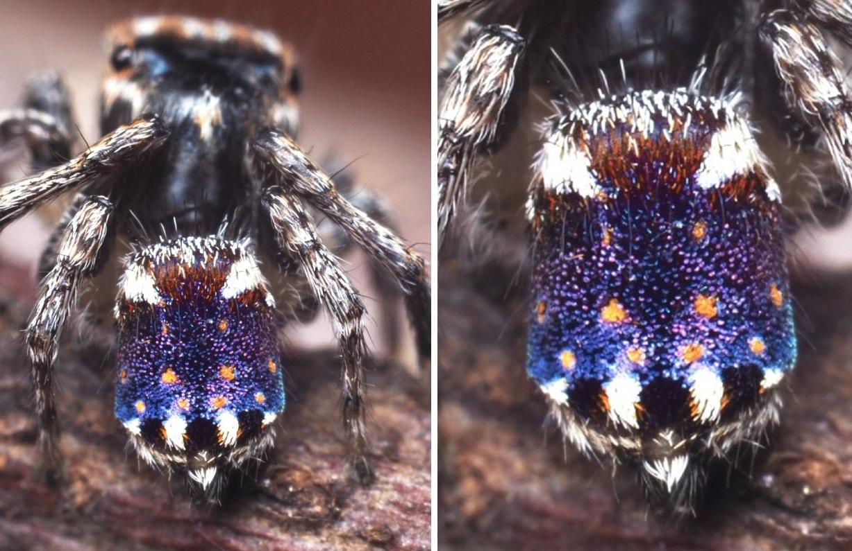 В Австралії знайшли павука, який виглядає як «Зоряна ніч» Ван Гога (ВІДЕО) - комахи - 01 zvezdnaya noch2 1