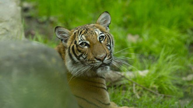 Тигр в американському зоопарку захворів на коронавірус - Тварини - 06 tygr
