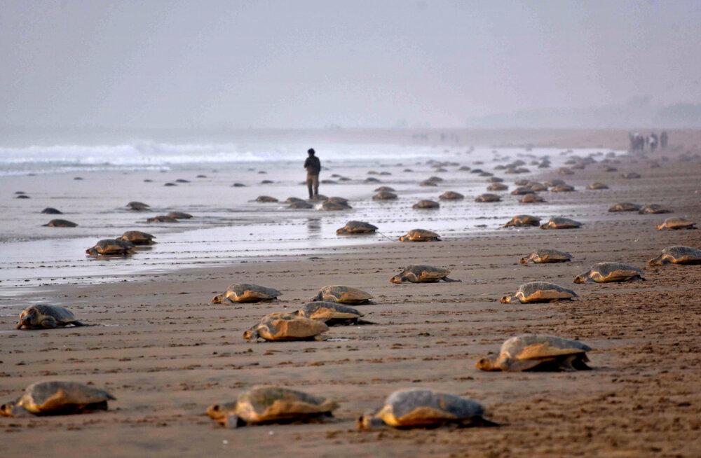 Спорожнілими пляжами Індії скористалися черепахи і відклали близько 60 мільйонів яєць - Тварини, коронавірус - 07 cherepahy