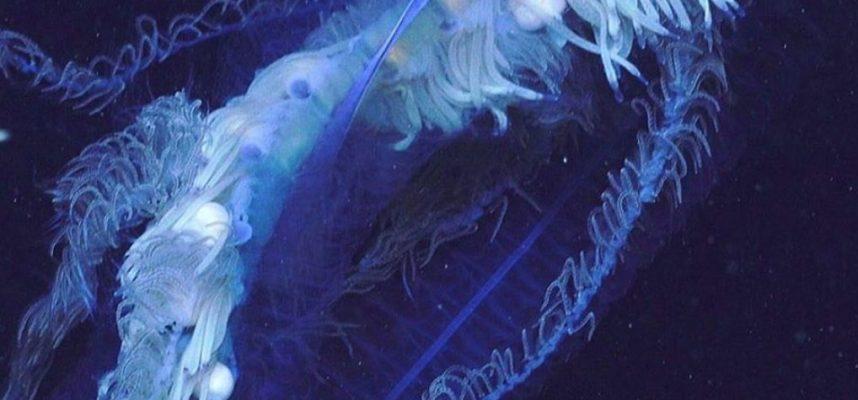 Дослідників шокувала величезна істота біля узбережжя Австралії: можливо це найдовша «тварина» у світі - Австралія - 09 avstralyya