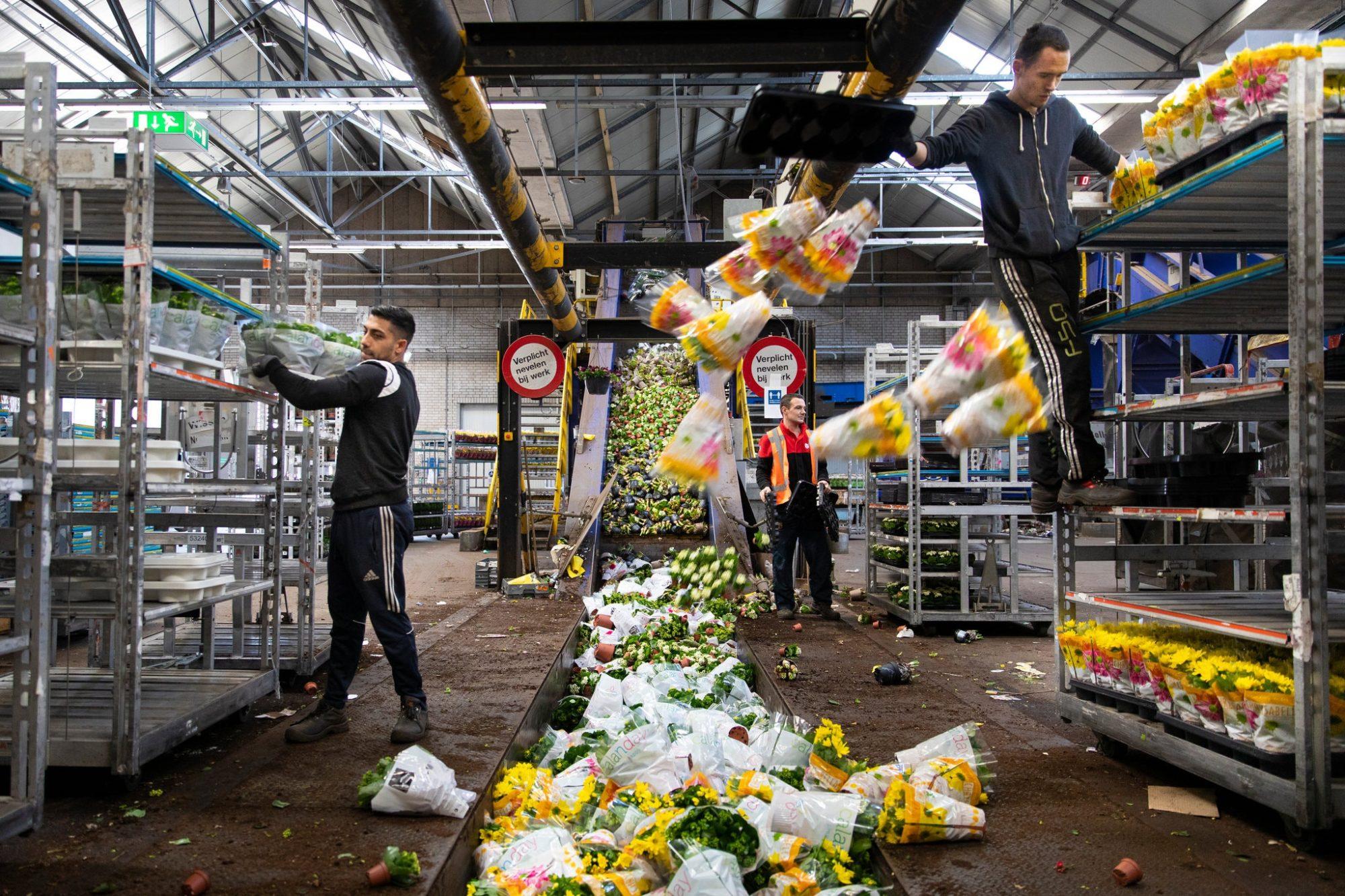 В Нідерландах через пандемію за місяць знищили 400 млн тюльпанів - тюльпани, Нідерланди, карантин - 14 tyulpany 2000x1333