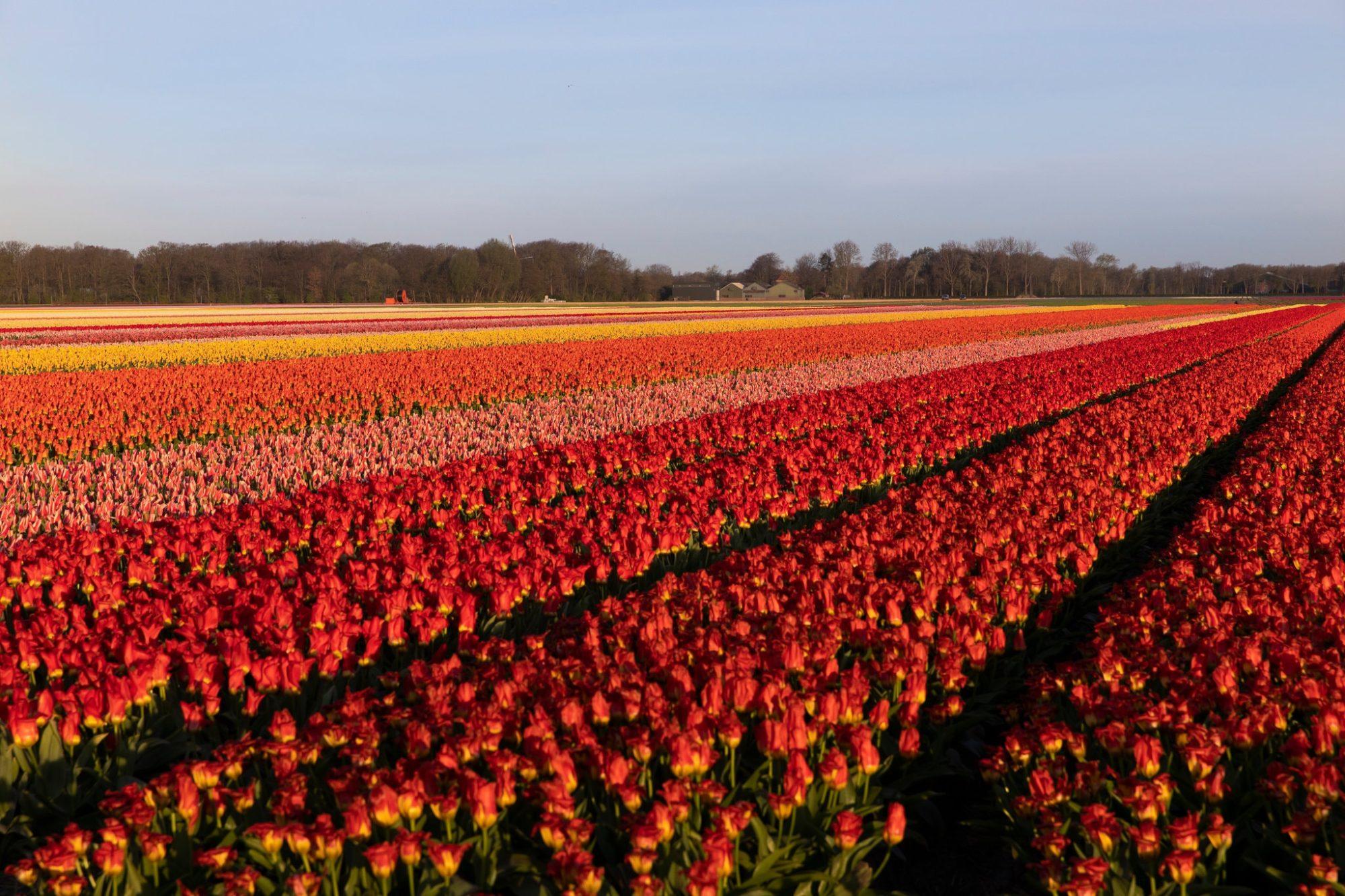 В Нідерландах через пандемію за місяць знищили 400 млн тюльпанів - тюльпани, Нідерланди, карантин - 14 tyulpany2 2000x1333