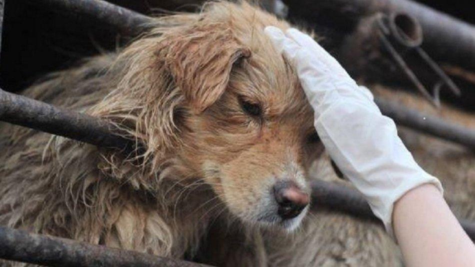 У Китаї офіційно відмовилися від вживання собачого м'яса -  - 1531821509 dog meat fest 1