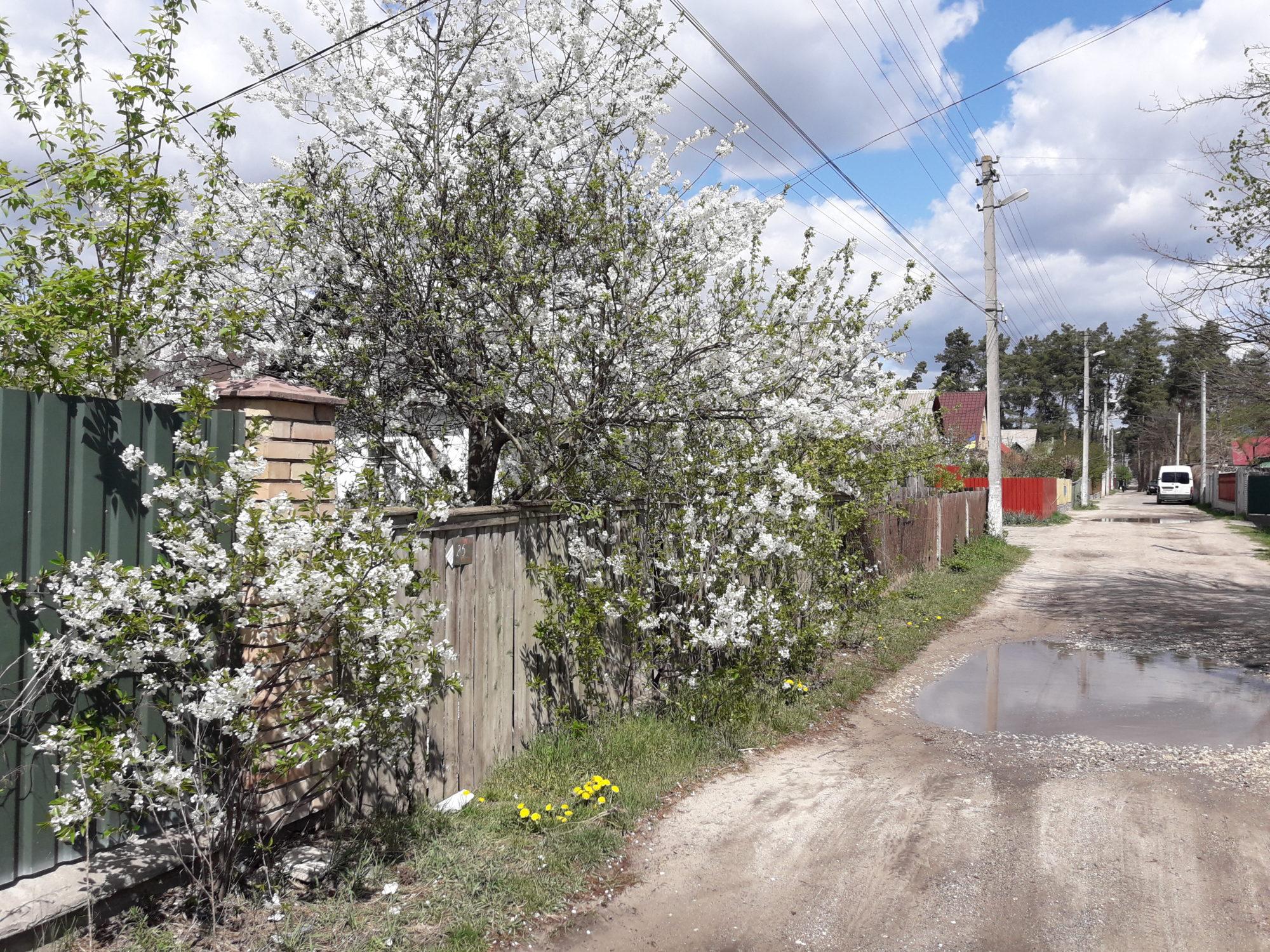 Ірпінь квітне: у місті настає пік цвітіння дерев та кущів (ФОТО) -  - 20200427 122543 2000x1500