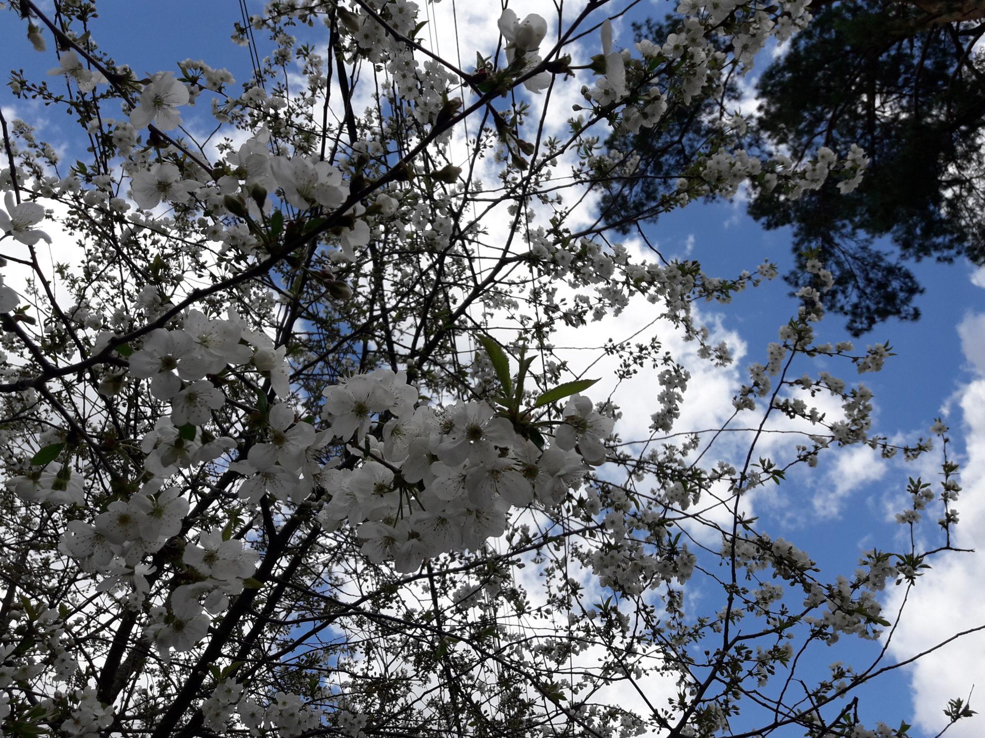 Ірпінь квітне: у місті настає пік цвітіння дерев та кущів (ФОТО) -  - 20200427 123242 2000x1500