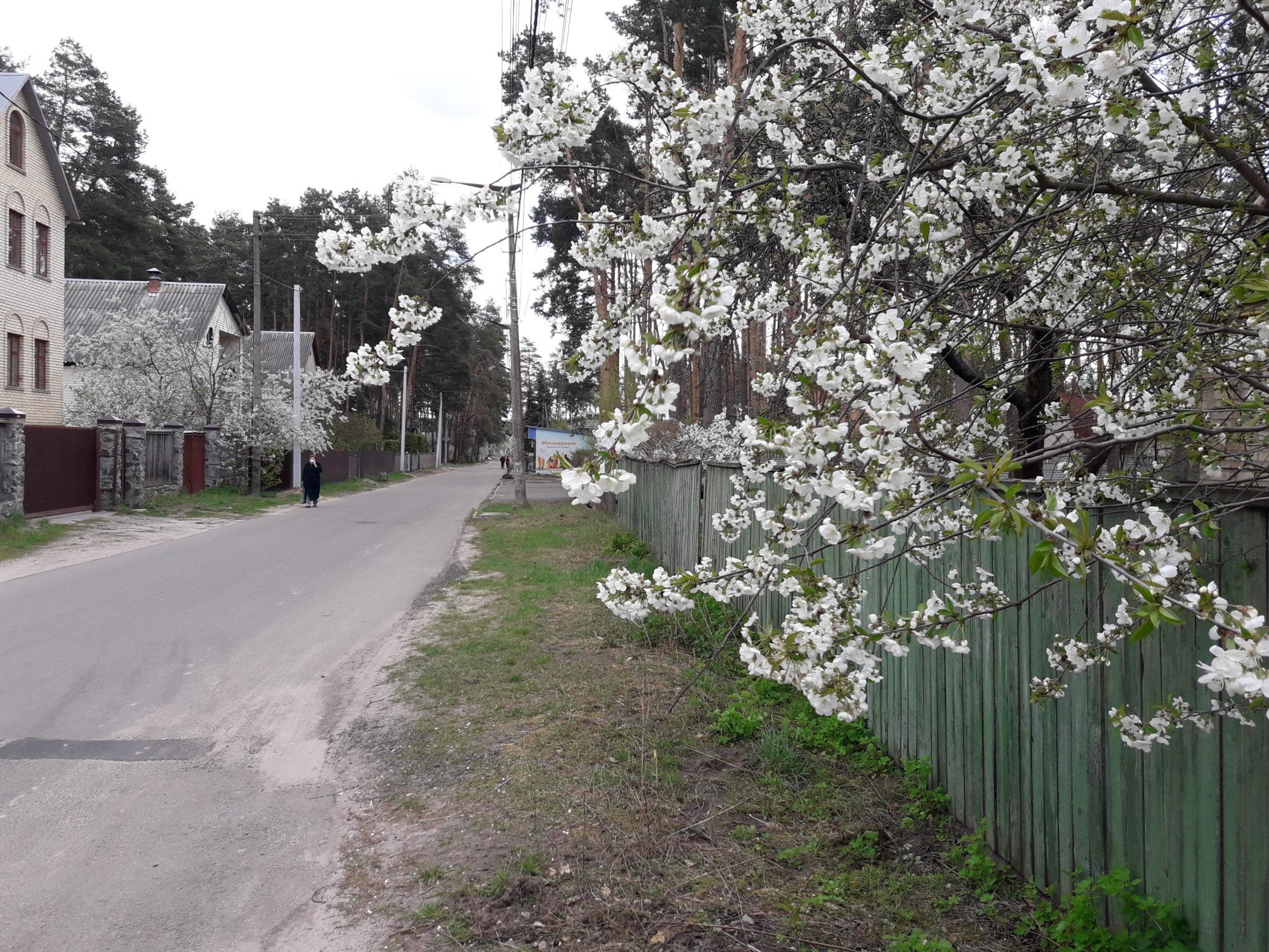 Ірпінь квітне: у місті настає пік цвітіння дерев та кущів (ФОТО) -  - 20200427 123340 2000x1500