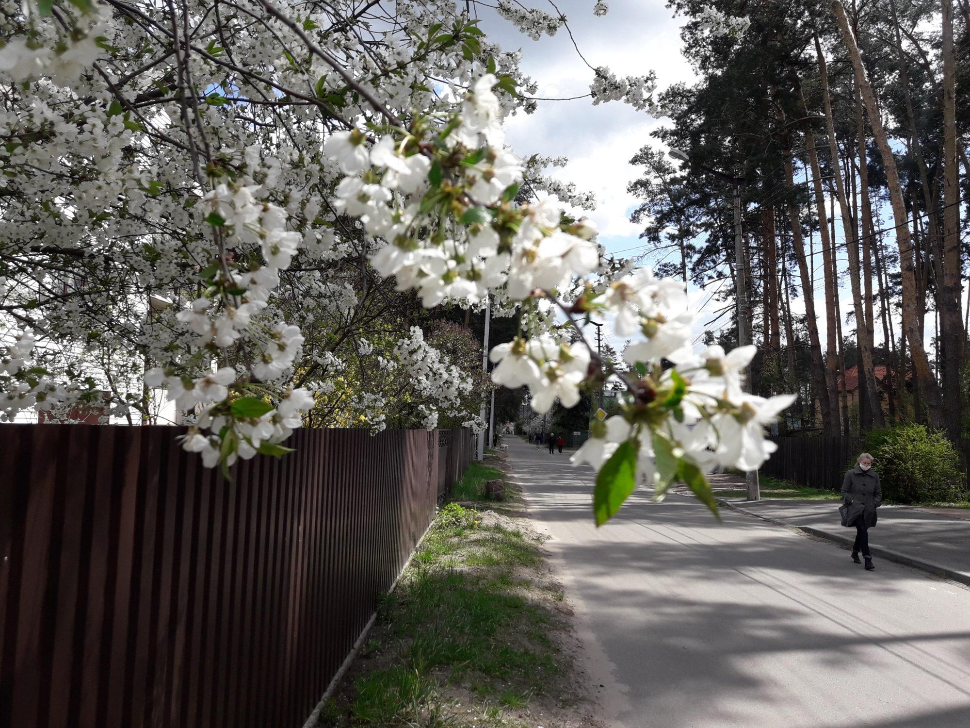 Ірпінь квітне: у місті настає пік цвітіння дерев та кущів (ФОТО) -  - 20200427 123411 2000x1500