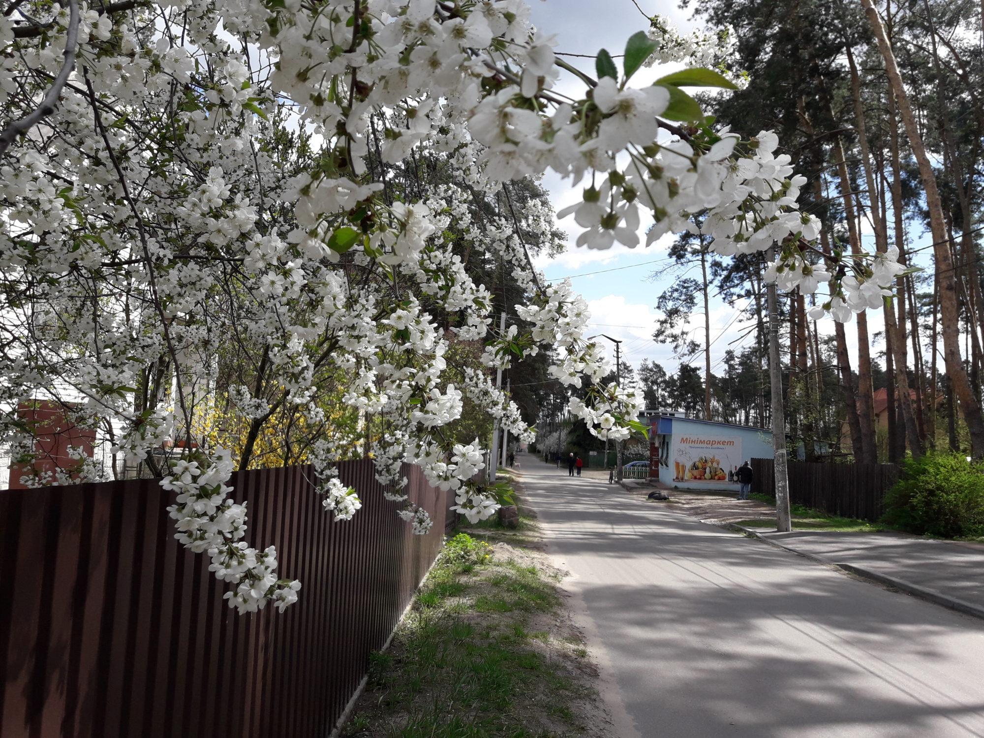 Ірпінь квітне: у місті настає пік цвітіння дерев та кущів (ФОТО) -  - 20200427 123415 2000x1500