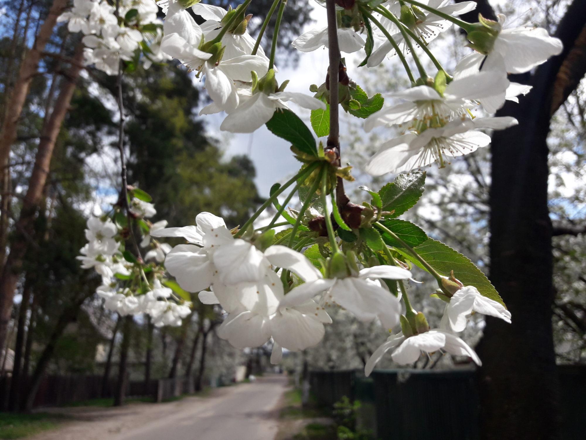 Ірпінь квітне: у місті настає пік цвітіння дерев та кущів (ФОТО) -  - 20200427 123632 2000x1500
