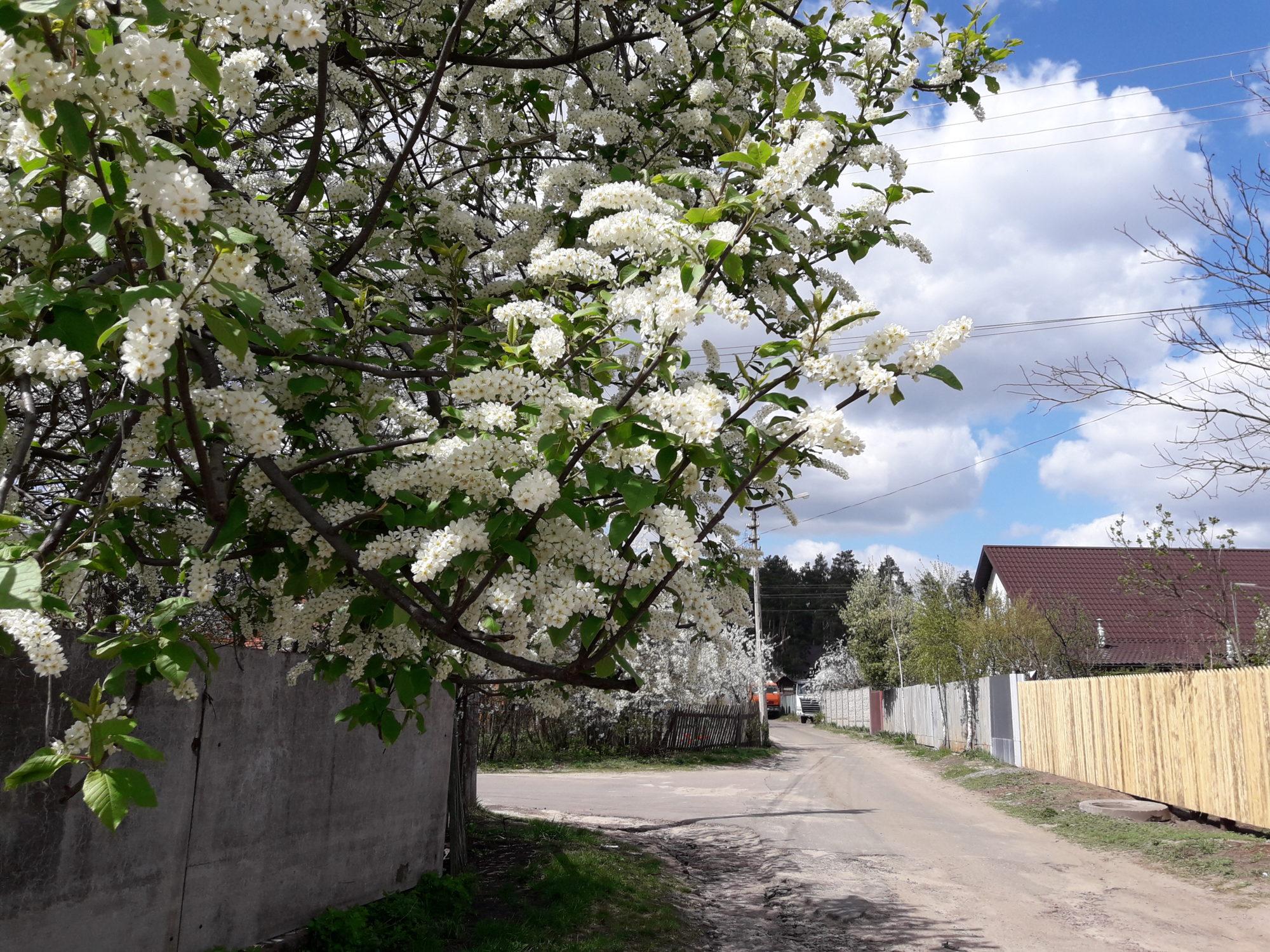 Ірпінь квітне: у місті настає пік цвітіння дерев та кущів (ФОТО) -  - 20200427 124138 2000x1500