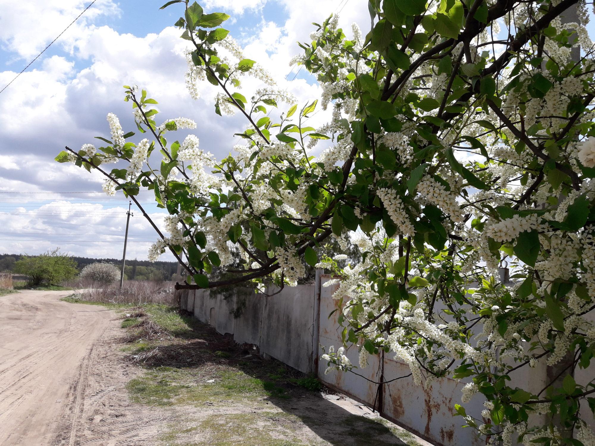 Ірпінь квітне: у місті настає пік цвітіння дерев та кущів (ФОТО) -  - 20200427 124147 2000x1500
