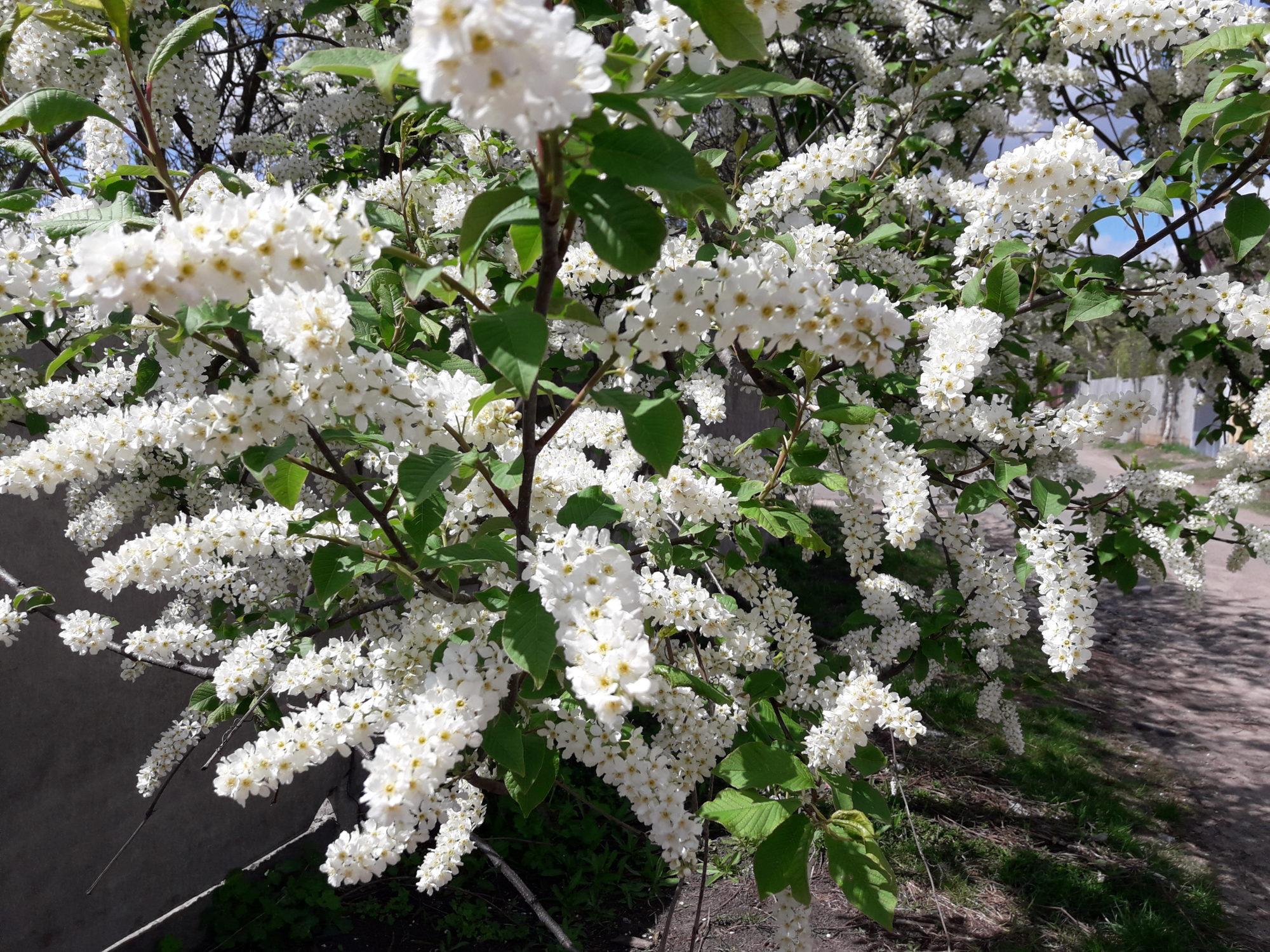Ірпінь квітне: у місті настає пік цвітіння дерев та кущів (ФОТО) -  - 20200427 124332 2000x1500