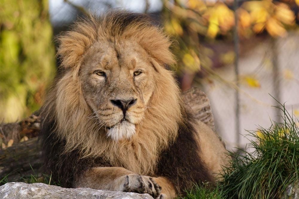 У нью-йоркському зоопарку ще у чотирьох тигрів і трьох левів виявлено коронавірус - Тварини, коронавірус - 23 lev