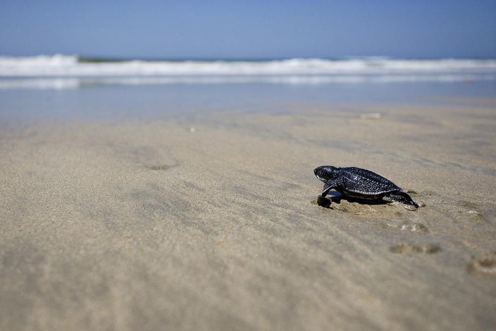 На спорожнілі пляжі Пхукета повернулися рідкісні морські черепахи - черепахи - 24 cherepahy