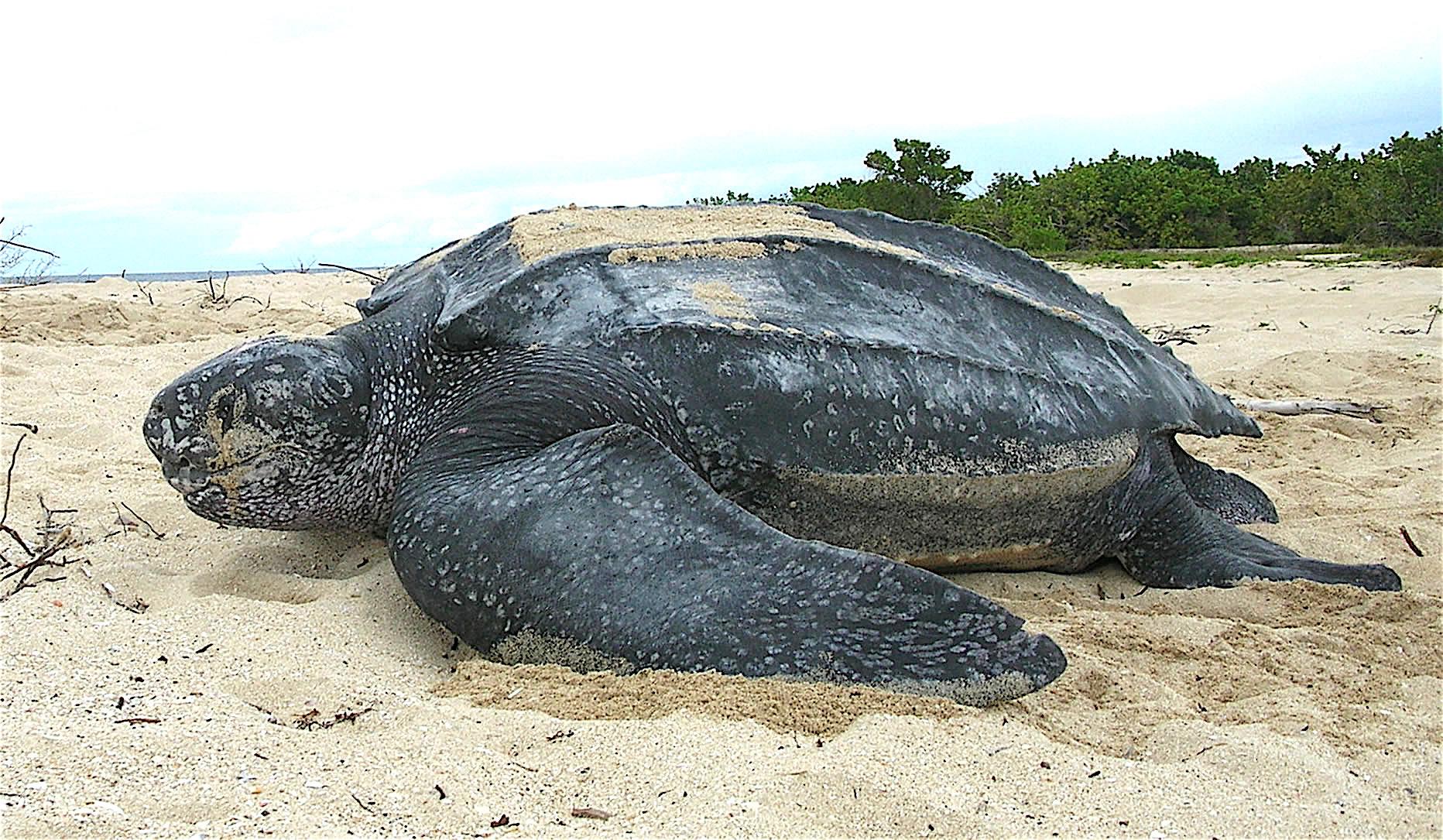 На спорожнілі пляжі Пхукета повернулися рідкісні морські черепахи - черепахи - 24 cherepahy2