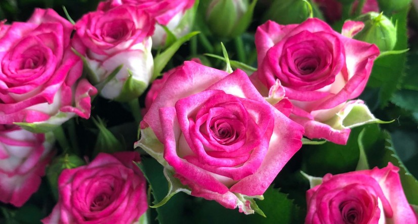 """Через карантин """"Асканія-Флора"""" з Броварщини планує знищити більшу частину троянд -  - 543"""
