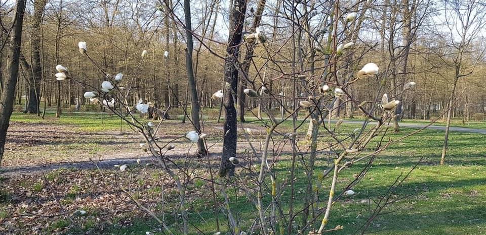 Квітнуть магнолії в парку бучанському - природа, Приірпіння, коронавірус, київщина, карантин, Бучанська ОТГ, Буча - Zvit magnol 2