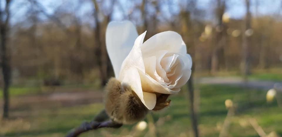 Квітнуть магнолії в парку бучанському - природа, Приірпіння, коронавірус, київщина, карантин, Бучанська ОТГ, Буча - Zvit magnol
