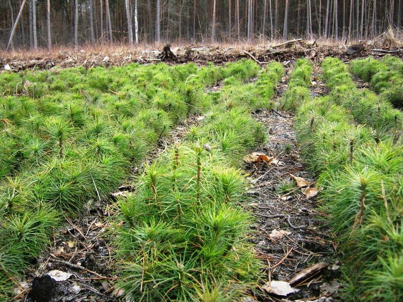 У Карпатах висаджено 3,5 млн дерев -  - lis