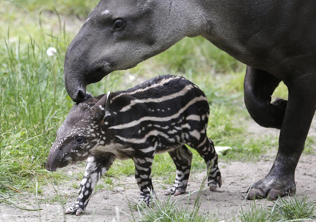 Вперше за 100 років: у дикій природі народився тапір -  - tapyr
