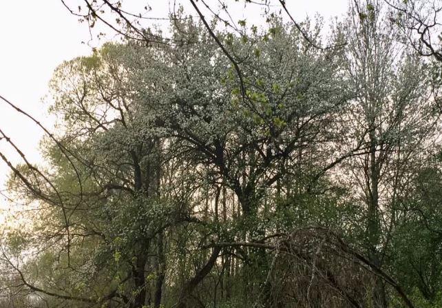 Gost-Zel-yar-1 Велетенський 400-літній гостомельський дуб отримає статус пам'ятки природи
