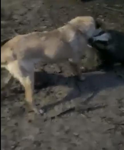 На Обухівщині скажений борсук покусав свійського пса -  - Screenshot 39