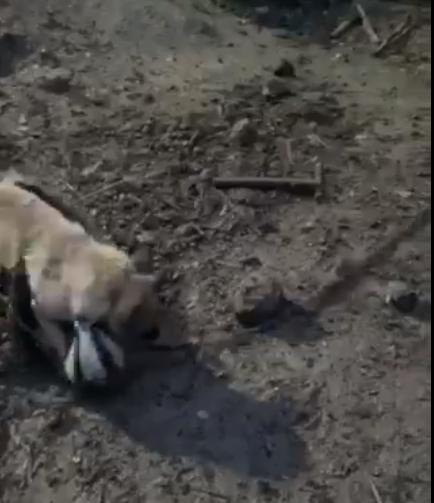 На Обухівщині скажений борсук покусав свійського пса -  - Screenshot 41