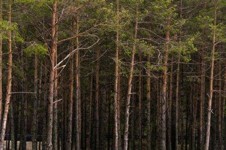 На Бориспільщині 16 га державного лісу віддали в приватні руки -  - depositphotos 170785650 stock photo pine forest