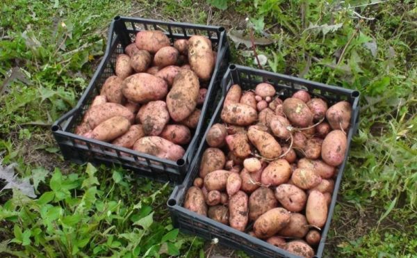 Рання картопля в Україні почала дешевіти -  - kartofel ilinskij4 600x371 1