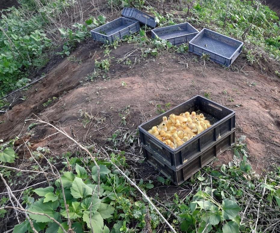 На українському кордоні контрабандисти залишили помирати сотні каченят -  - photo 2020 06 23 16 20 53