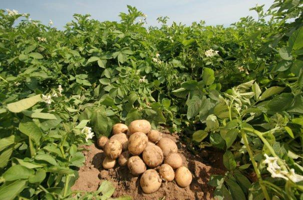 Рання картопля в Україні почала дешевіти -  - post 5b1252a08addf 605x400 1
