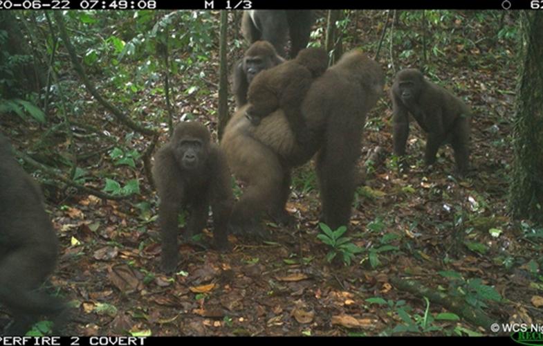 Надія на порятунок: рідкісний підвид горил вперше потрапив у фотопастку - захист тварин - 14 goryla