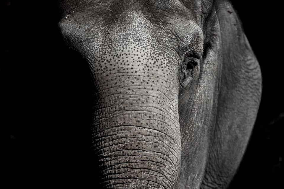 Названа ймовірна причина загибелі більше 350 слонів в Ботсвані - слони, слон - 05 slon