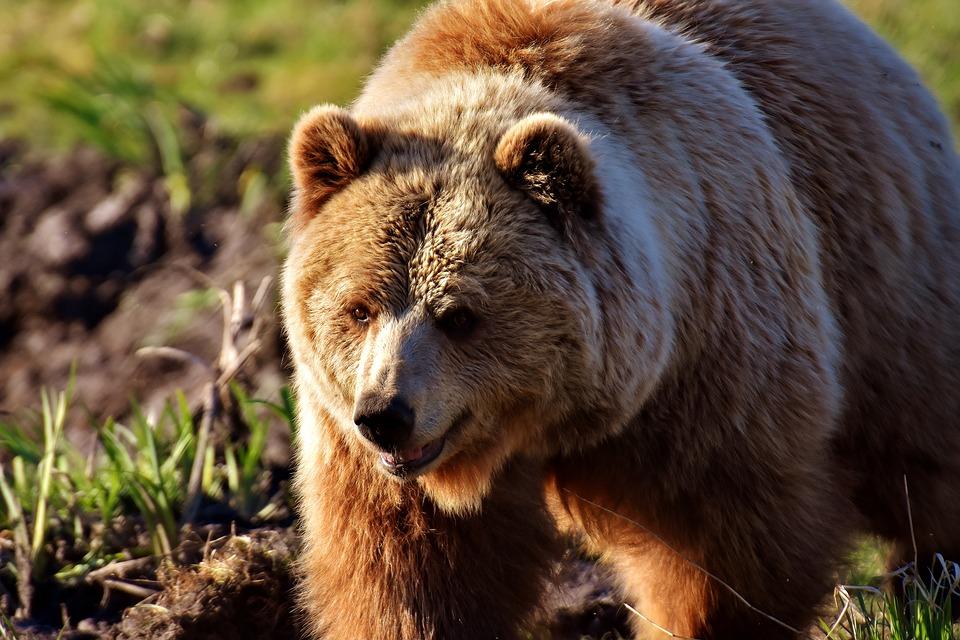 В дикій природі України залишилося всього 200 ведмедів - захист тварин, ведмідь - 06 myshka2