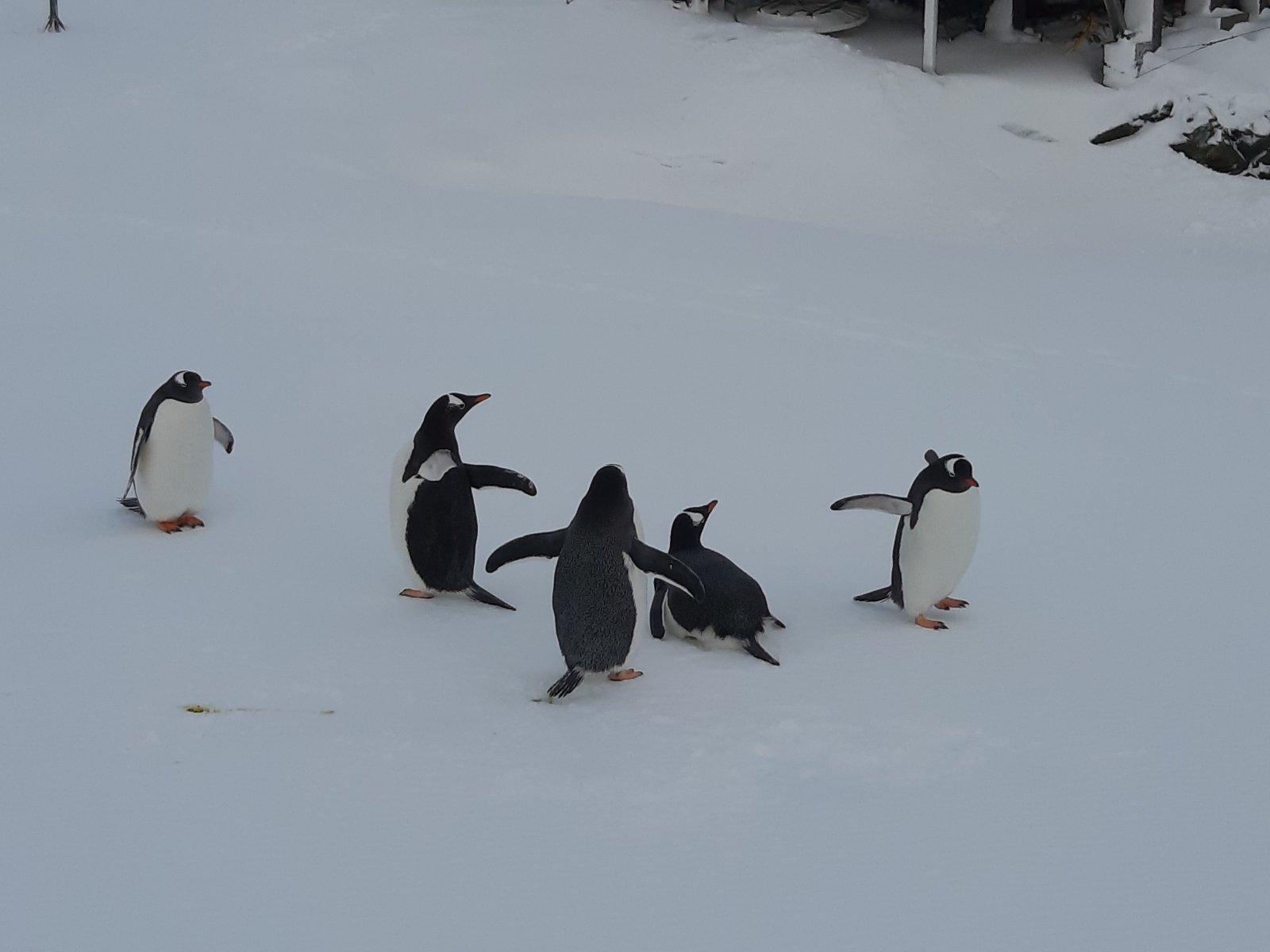 В розпал антарктичної зими на материк повернулися пінгвіни - Антарктида - 06 pyngvyny2