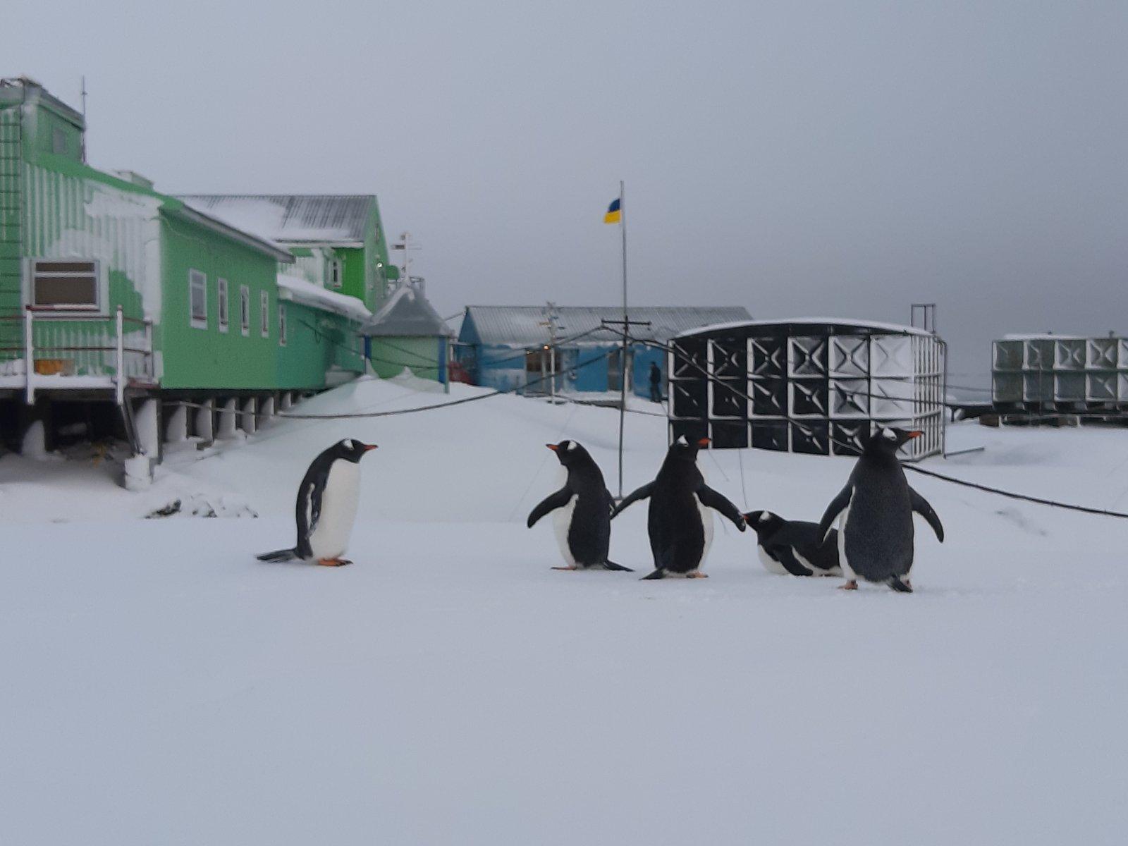 В розпал антарктичної зими на материк повернулися пінгвіни - Антарктида - 06 pyngvyny3