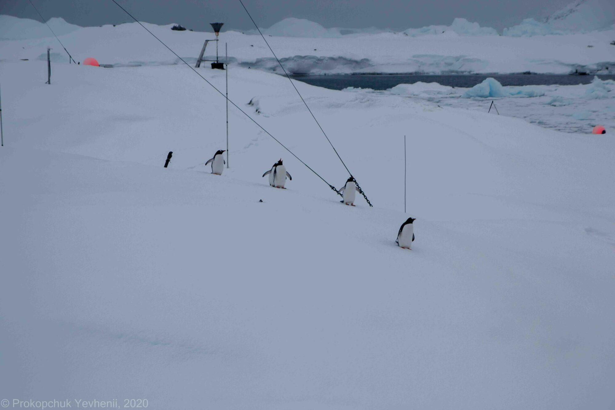 В розпал антарктичної зими на материк повернулися пінгвіни - Антарктида - 06 pyngvyny4 2000x1333