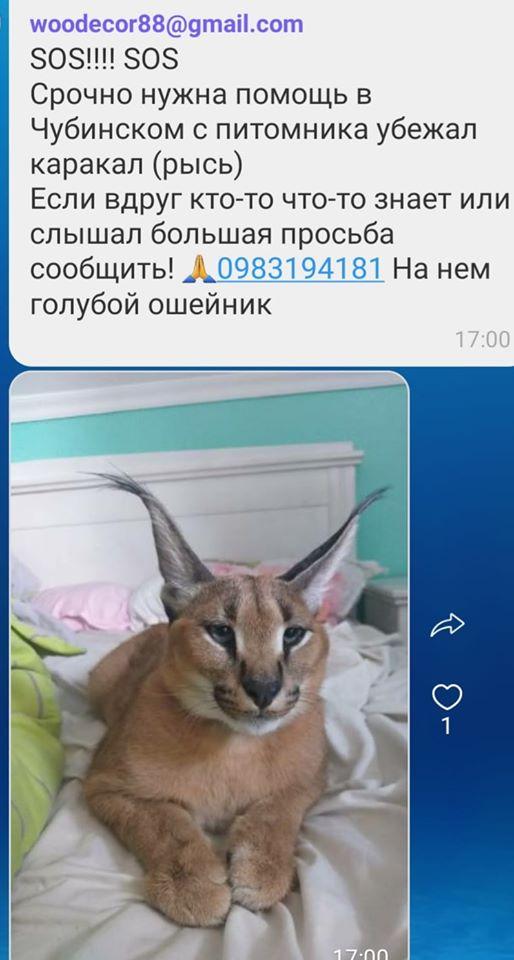 На Бориспільщині із розплідника втекла рись - Чубинське, втеча - 117232101 1518063431709594 1230823076943591820 n 1