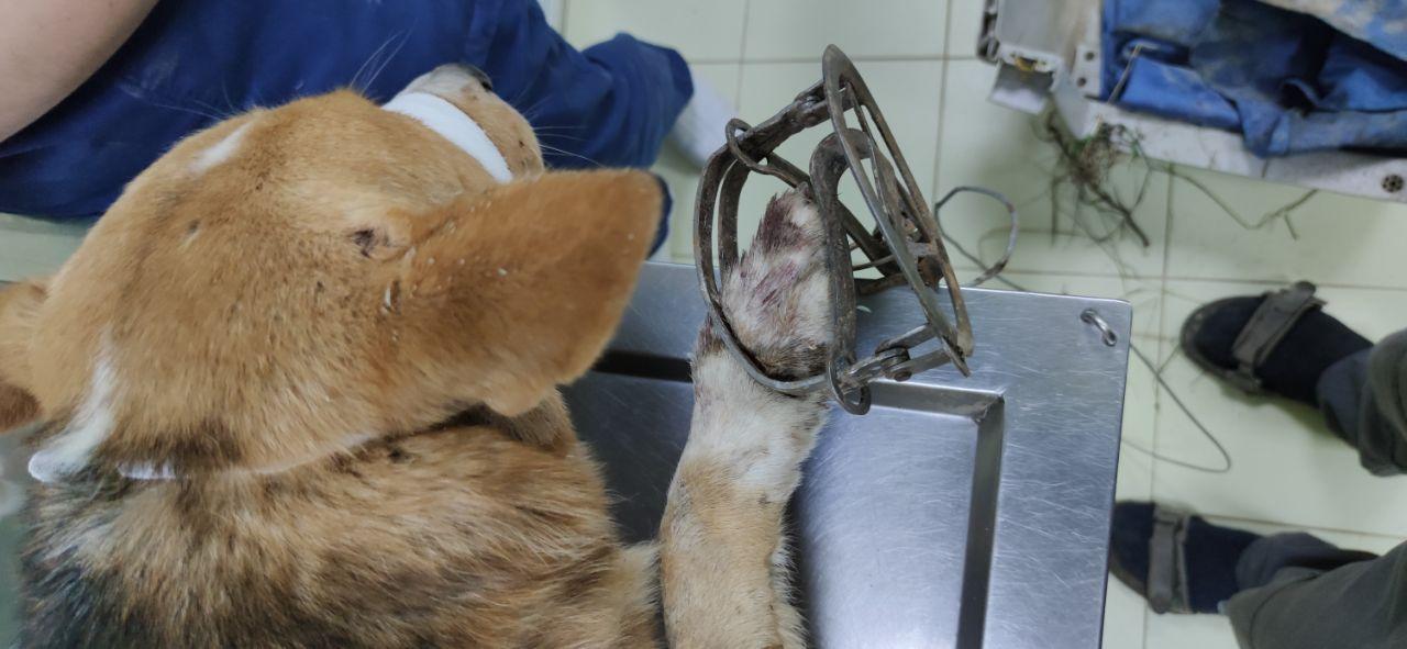 На Вишгородщині врятували з труби і капкана бідолашного пса -  - 118070812 2749293441983221 9093443326517452775 o