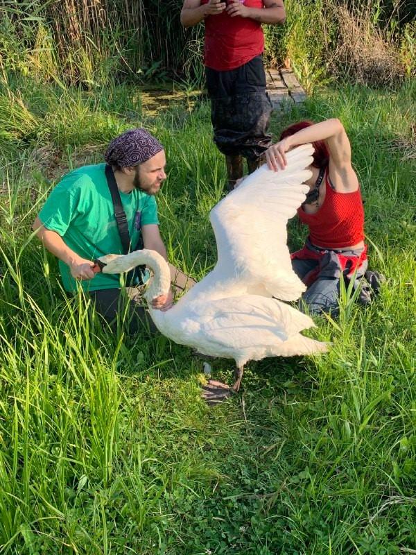 На Фастівщині врятували лебедя, що опинився у біді -  - 118580460 2749088135337085 7935614024363564500 n