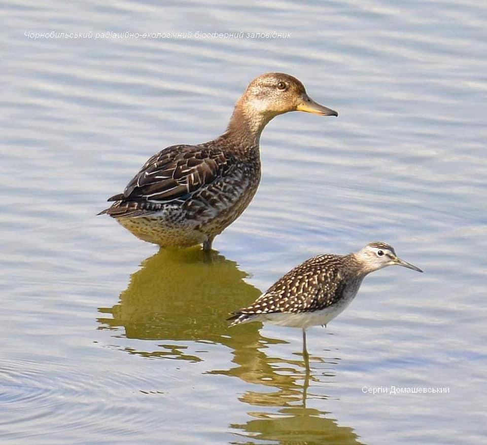 У Чорнобильській зоні помітили рідкісних птахів -  - CHyryanka mala i kolovodnyk bolotyanyj