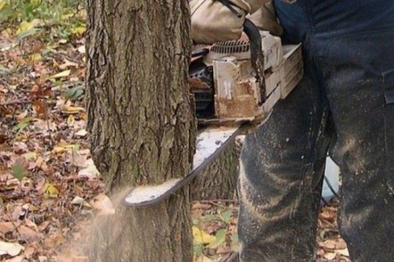 Трьох жителів Сквири засудили за пиляння дерев в лісосмузі -  - Dereva zrubuyut 1