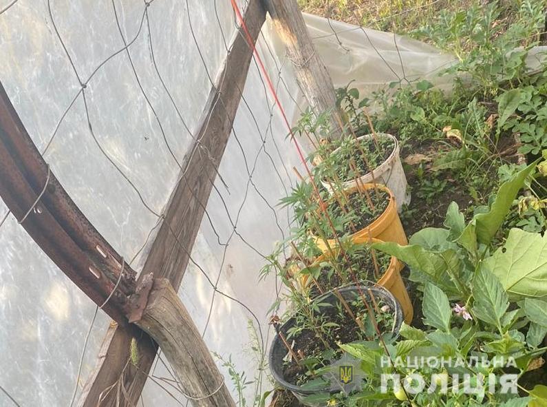 На Вишгородщині знайшли «чергову» наркоплантацію -  - Konopli2